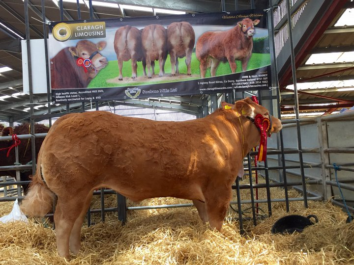 Lily crowned Overall Junior Female Champion at National Limousin Show