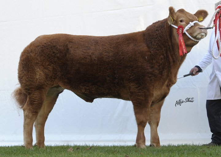 Limousin Success Allams 2010